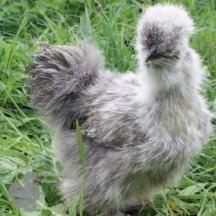 Silver Partridge Silkie