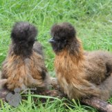 Gold Partridge Silkie