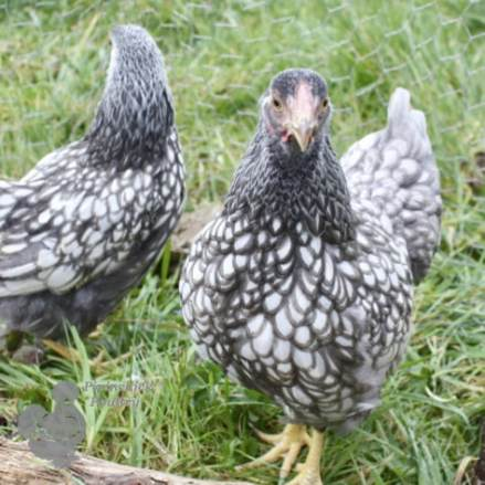Blue Silver Laced