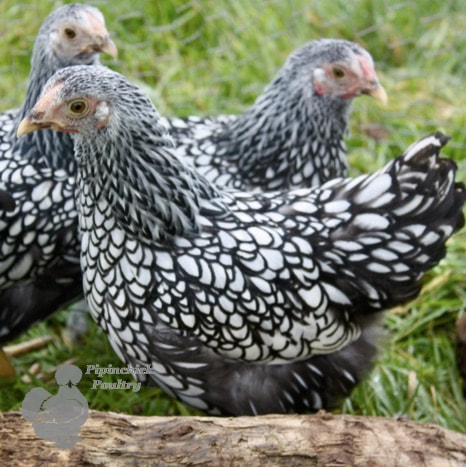 Silver Laced